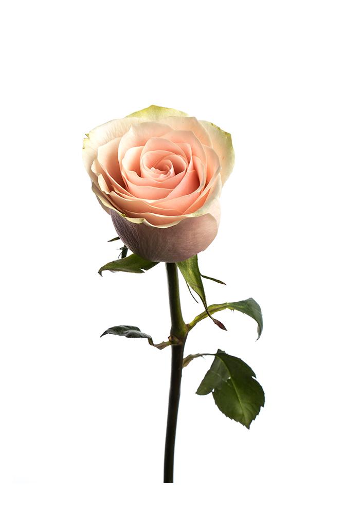 Rose Bicolor Peach-Pink Frutetto