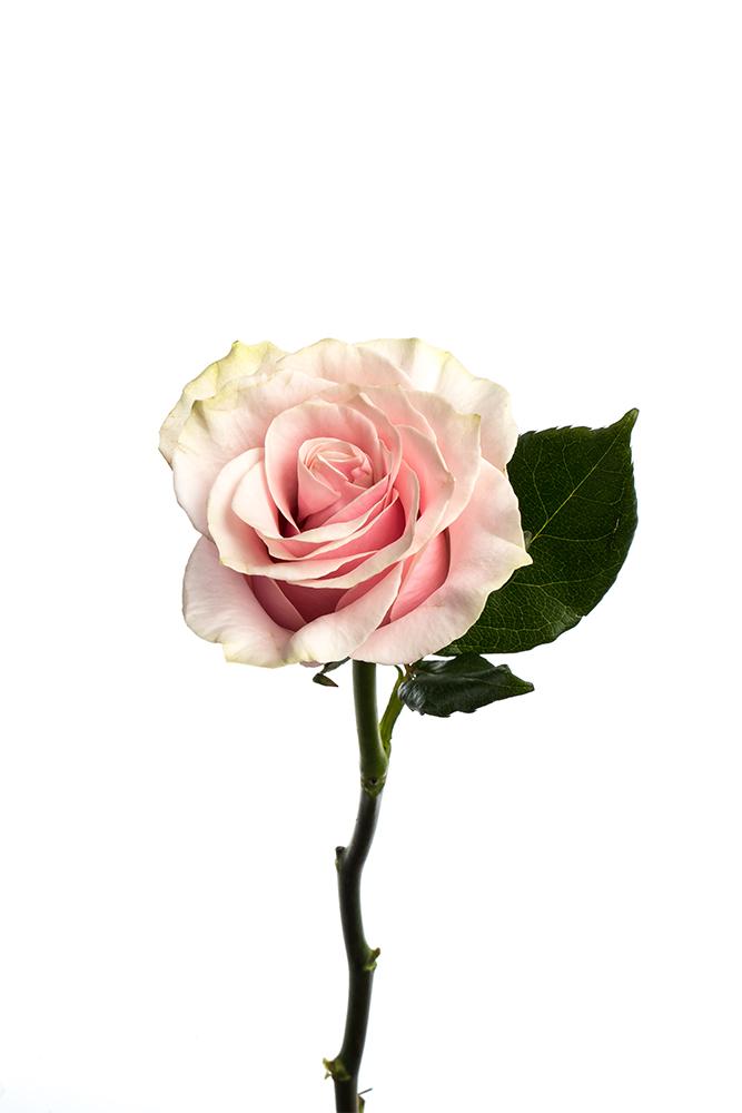 Rose Bicolor Peach–Pink Pink Mondial