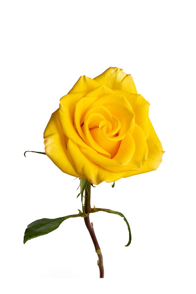Rose Bicolor Yellow High & Yellow Magic