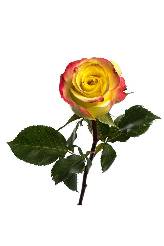 Rose Bicolor Yellow Hot Merengue