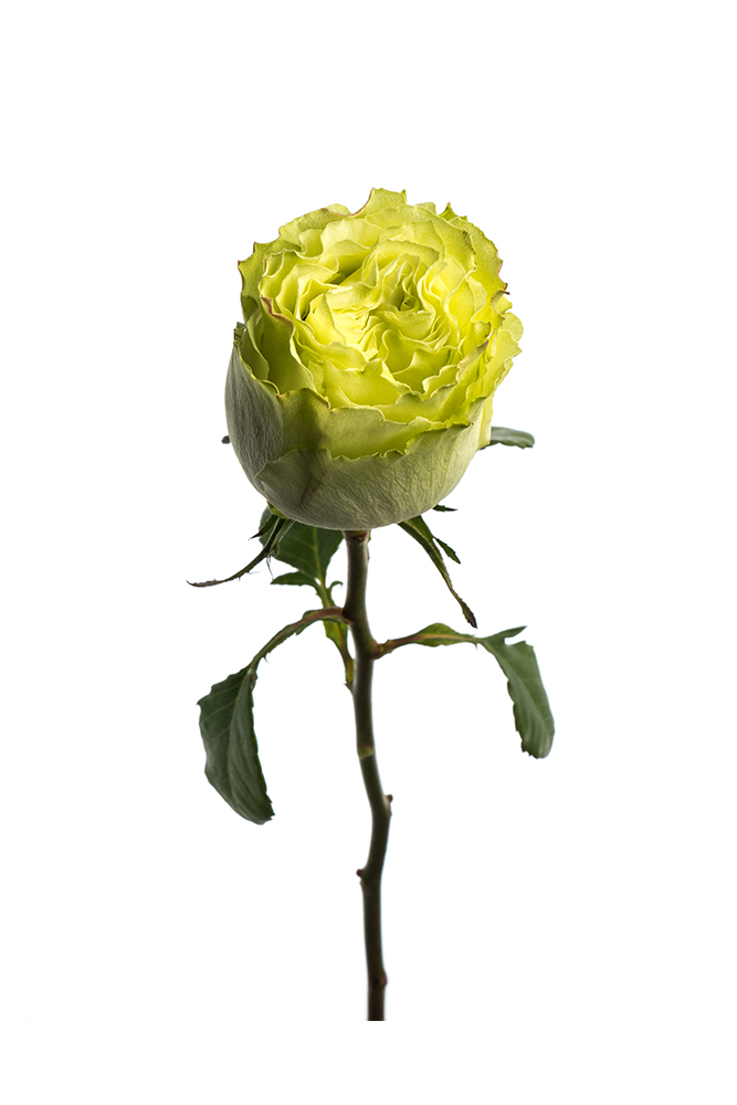 Rose Green Limonade