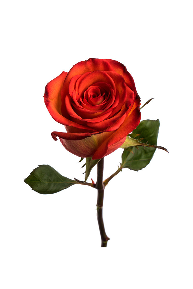 Rose High Orange Magic