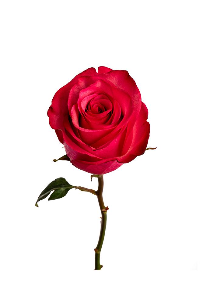 Rose Hot Pink Lola