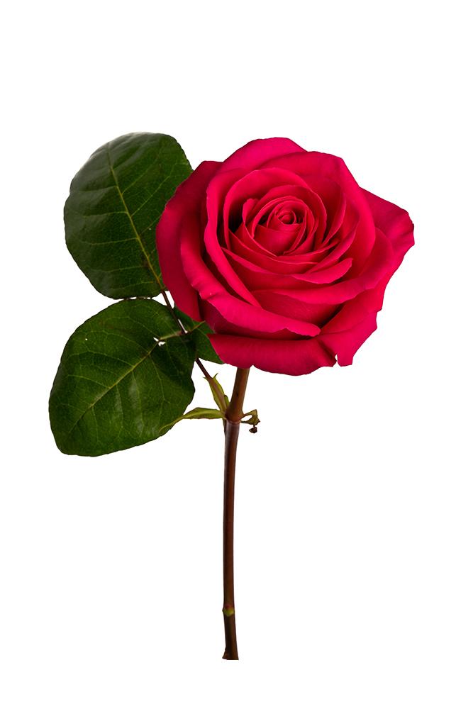 Rose Hot Pink Pink Floyd
