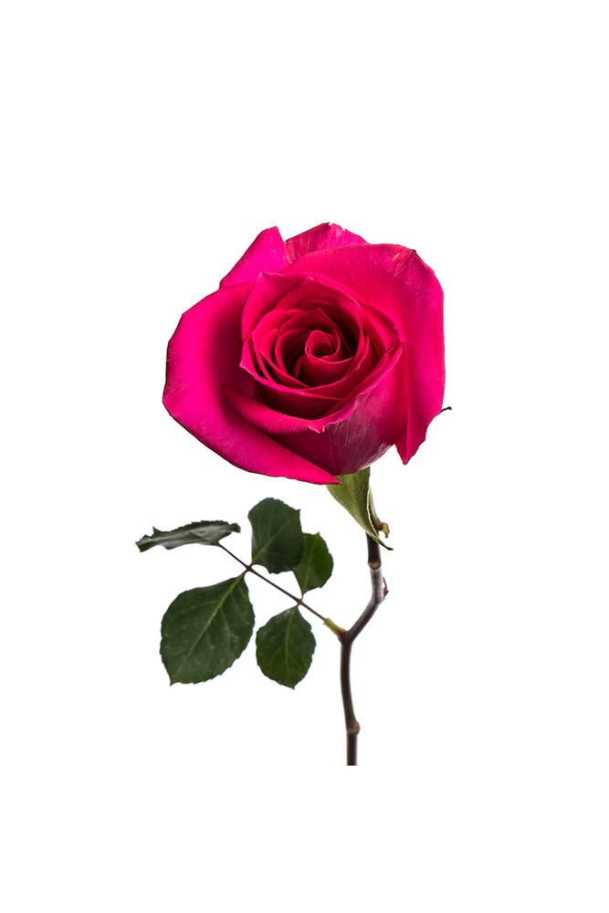 Rose Hot Pink Ravel