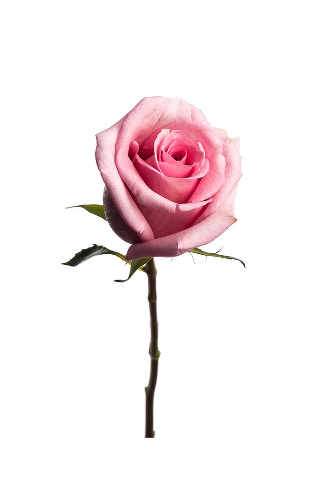 Rose Light Pink Jessica
