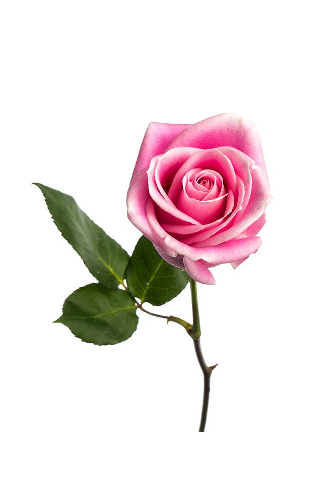 Rose Light Pink Rosita Vendela
