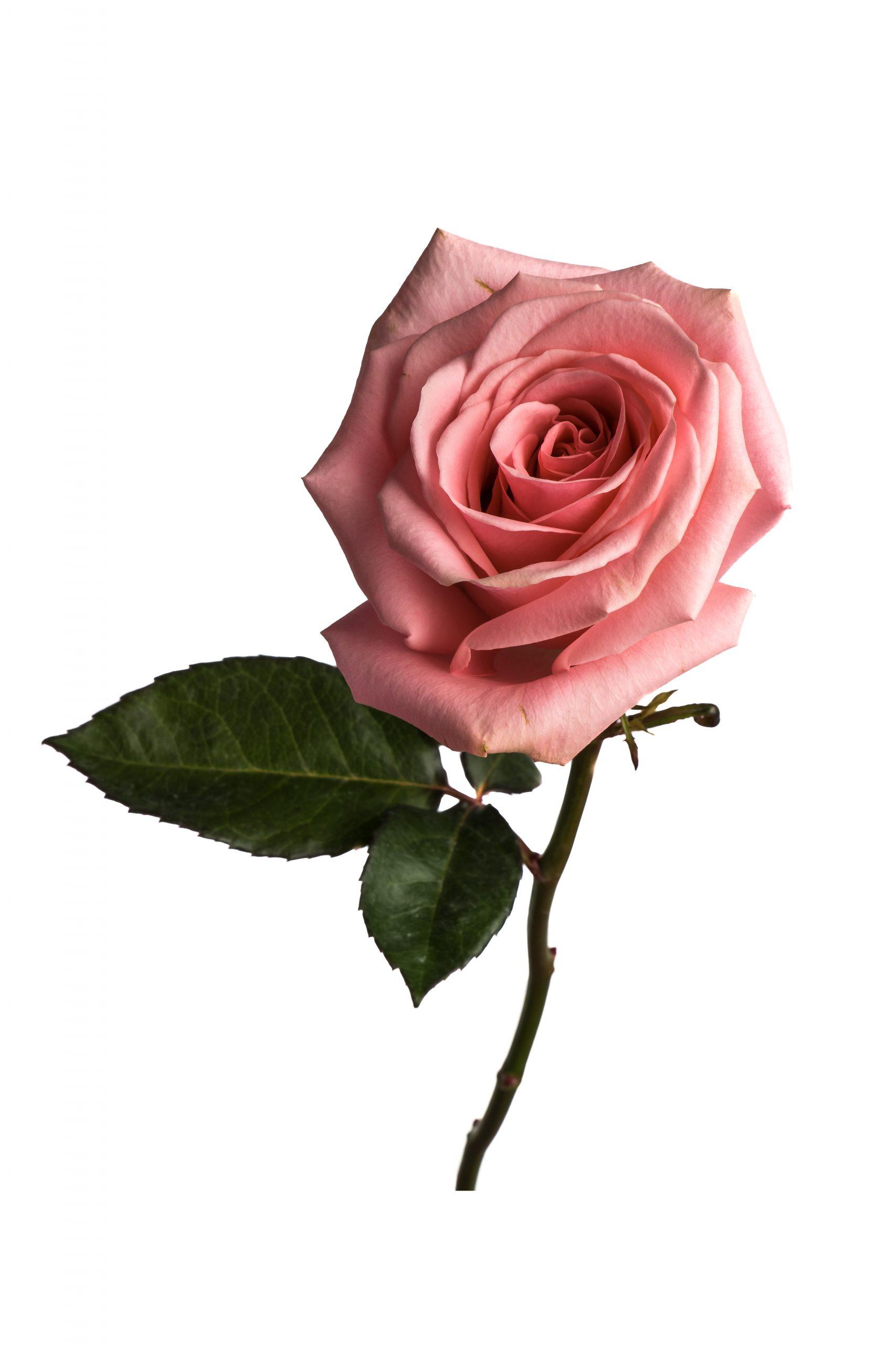 Rose Medium Pink Pink Candy