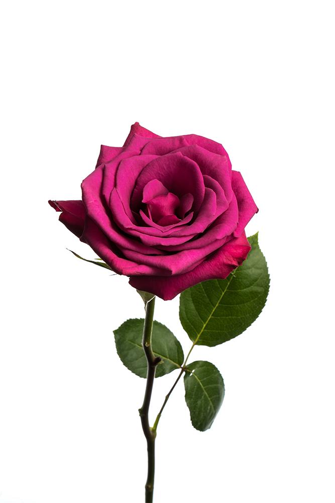 Rose Purple Blueberry