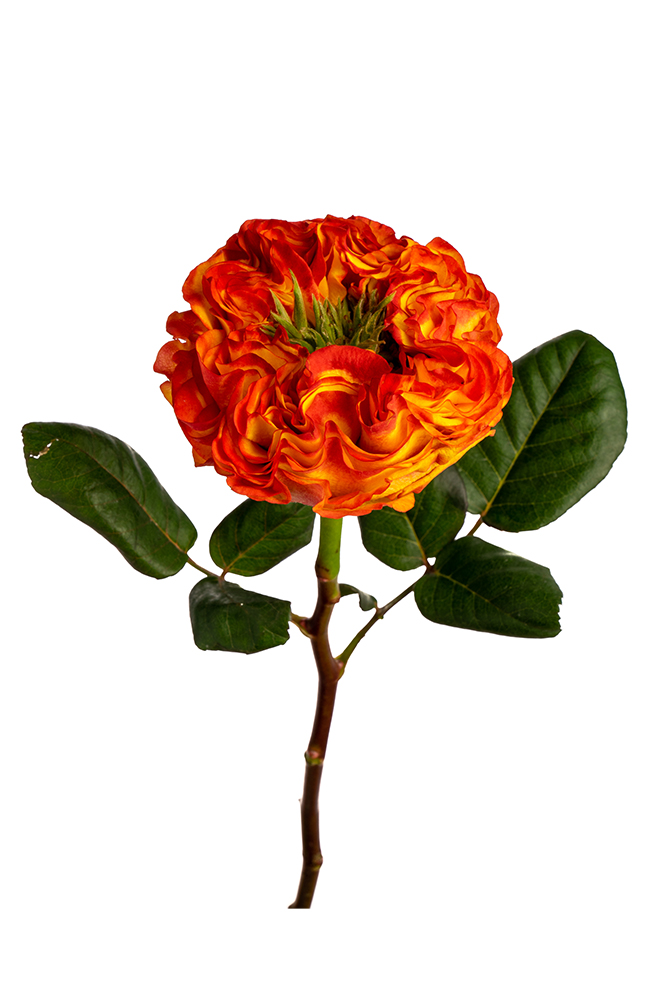 Rose Red Garden Rose Flash Eye