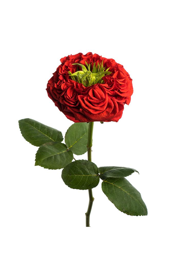 Rose Red Garden Rose Red Eye