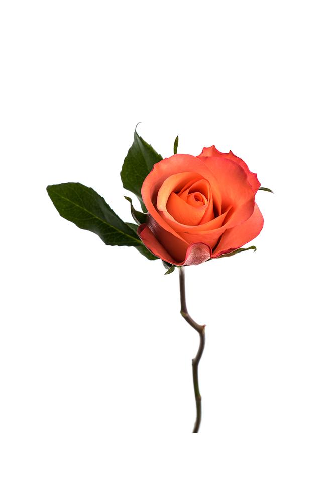 Rose Salmon-Orange Sweet Life