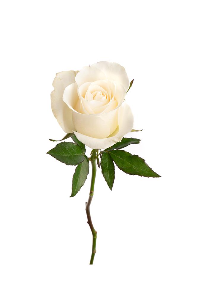 Rose White Snowbliss