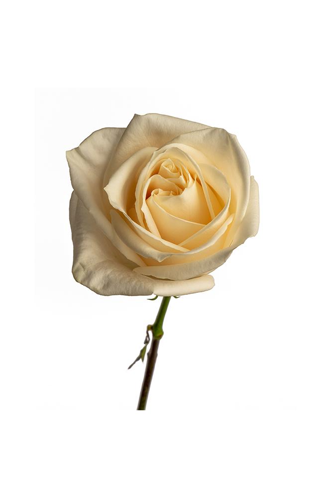 Rose White Vendela