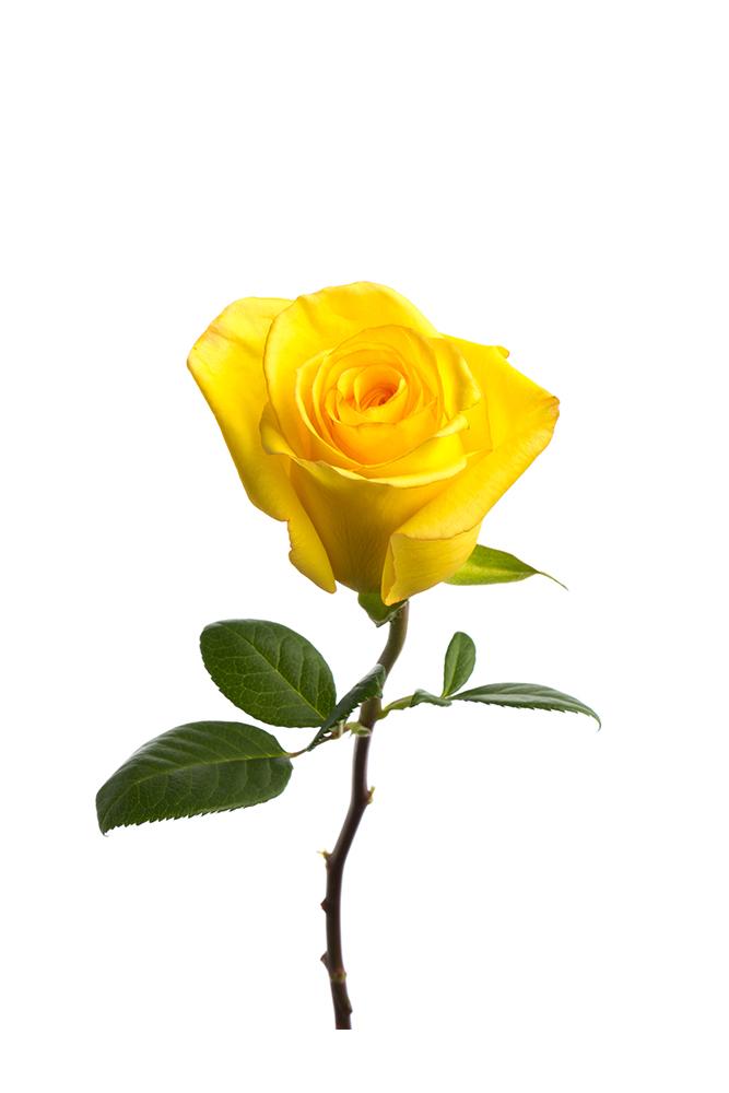 Rose Yellow Deja Vu