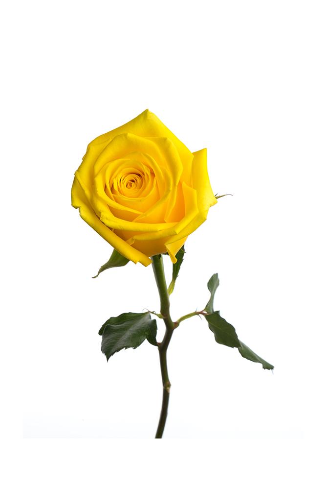 Rose Yellow High & Exotic