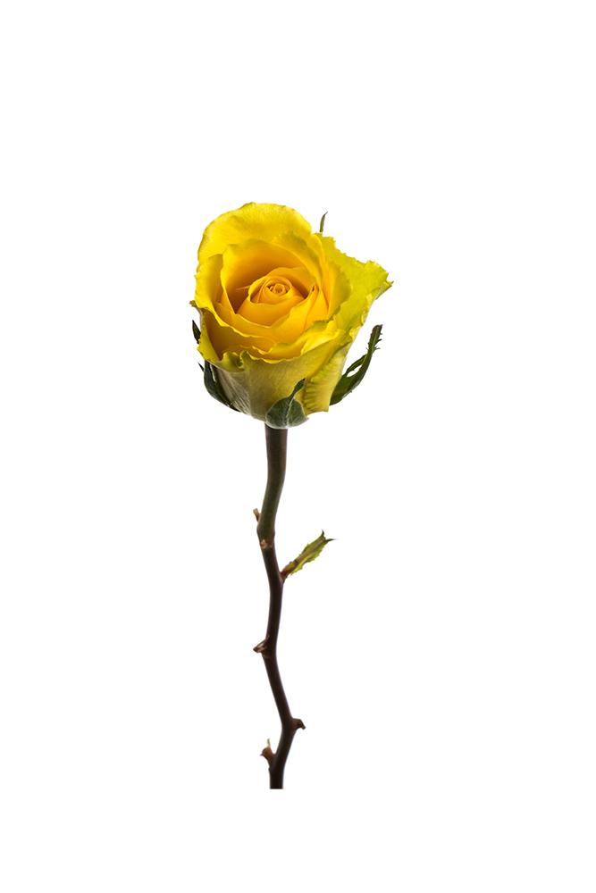 Rose Yellow Idole