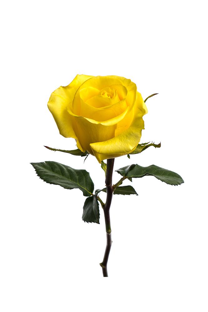 Rose Yellow King