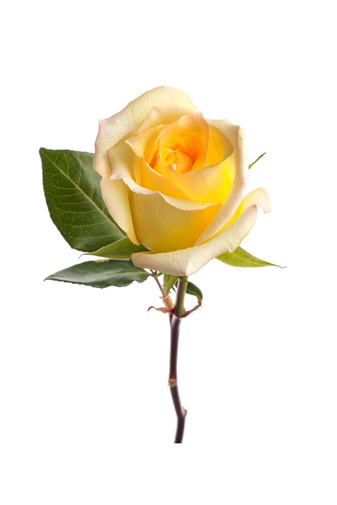 Rose Yellow Marisa