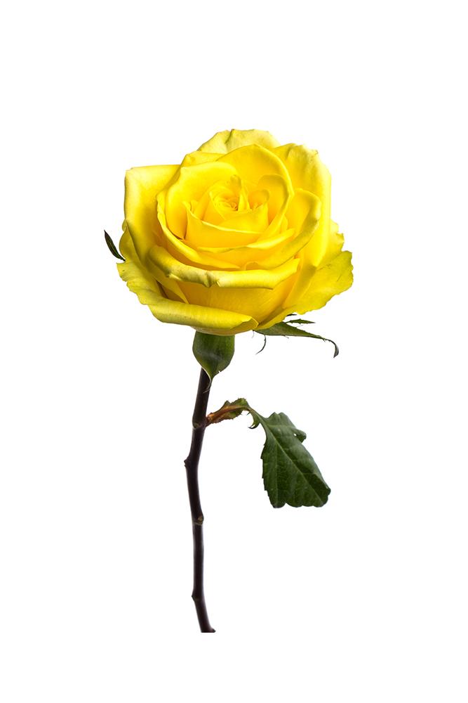 Rose Yellow Stardust