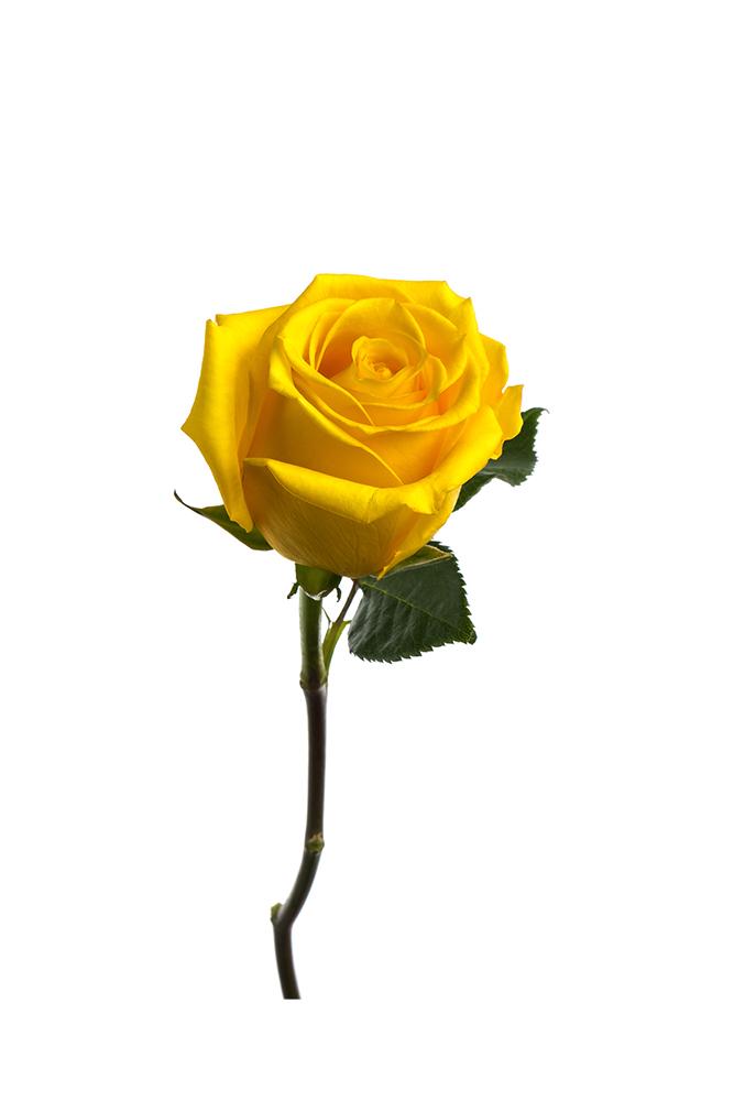 Rose Yellow Super Sun