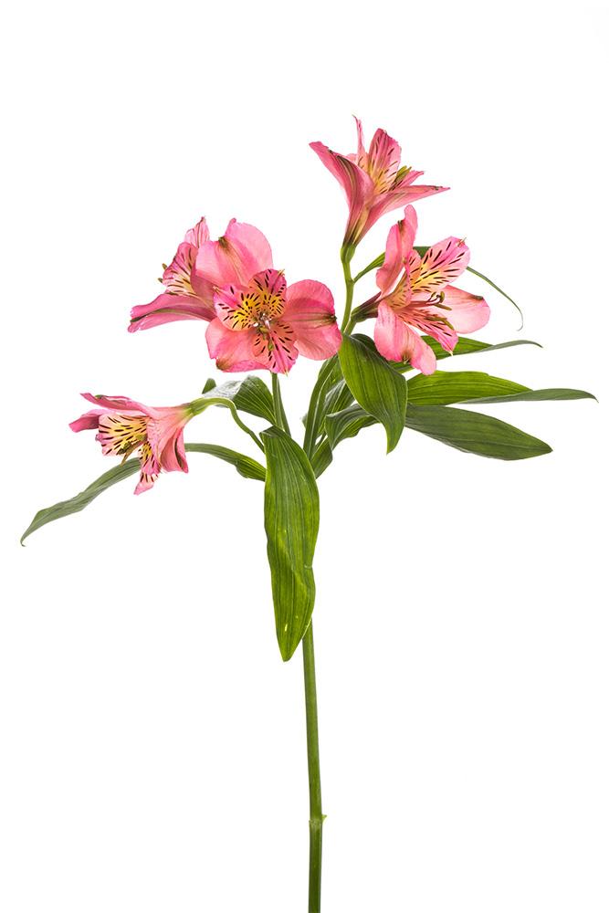 alstroemeria pink kodiak