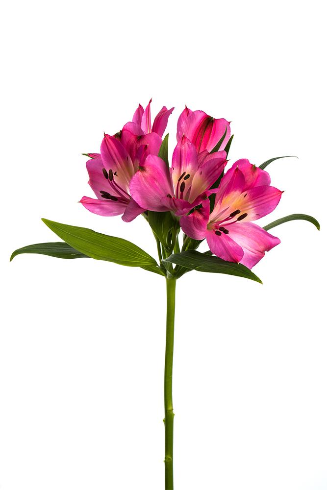 Alstroemeria Hot Pink Record