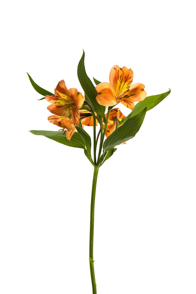 Alstroemeria Orange Orange Queen
