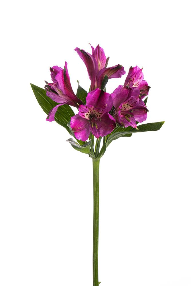 Alstroemeria Purple Napoli