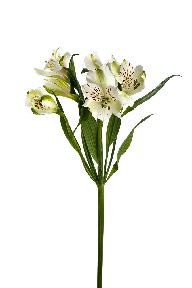 Alstroemeria White Glester