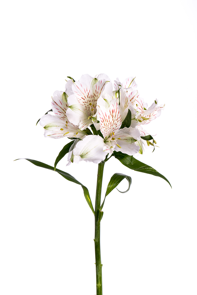 Alstroemeria White Snowtime