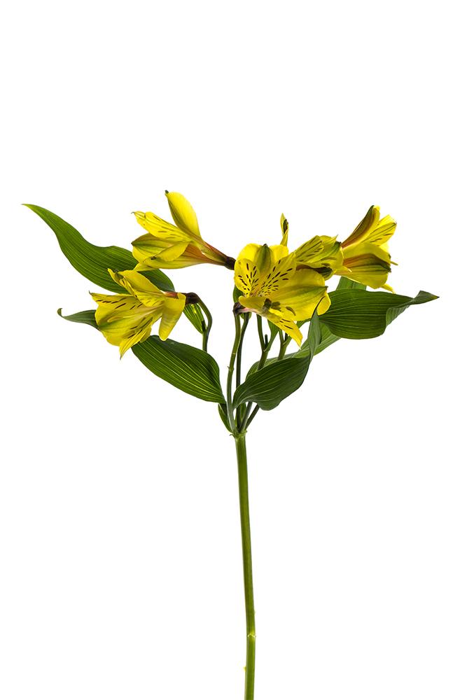 Alstroemeria Yellow Dimension