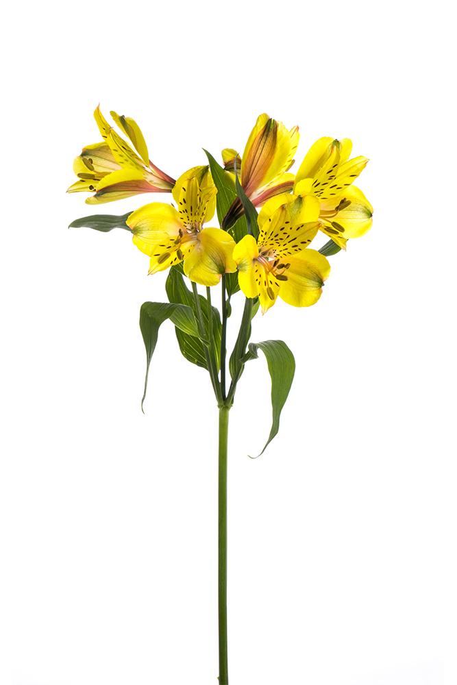 Alstroemeria Yellow Senna