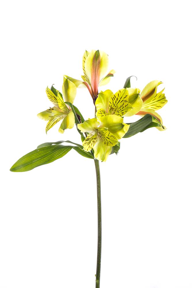 Alstroemeria Yellow Shakira