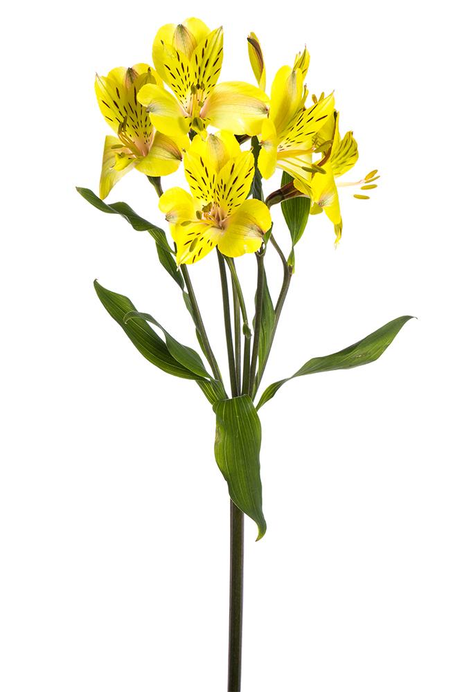 Alstroemeria Yellow Solange