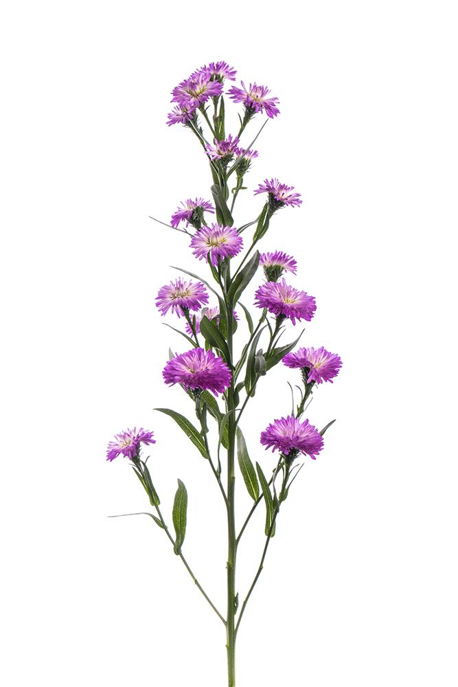 Aster (Butterfly Aster) Purple Primavera