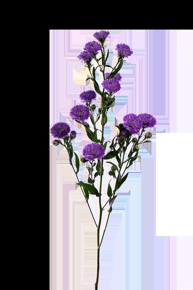 Aster Lavender Cairo