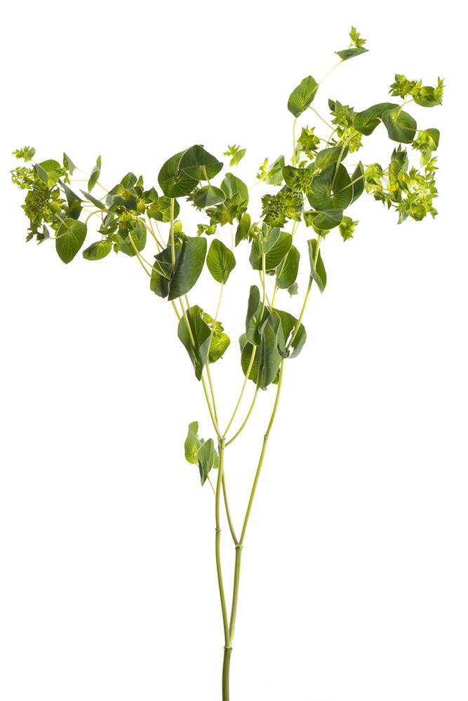 Bupleurum Green Guiffithi Green Gold
