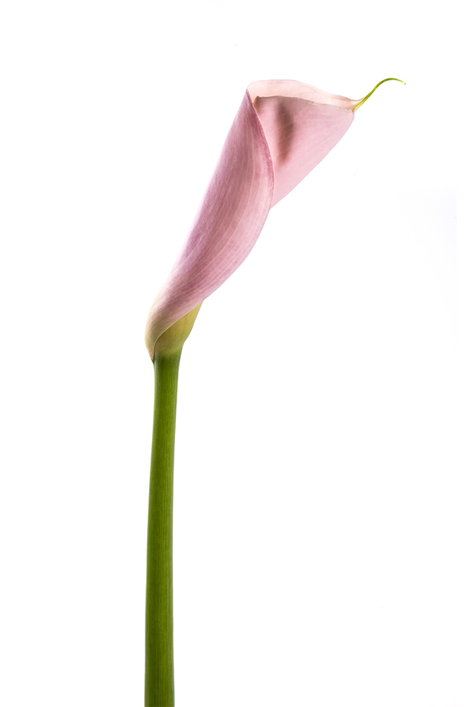 Calla Lily Pink Flamingo