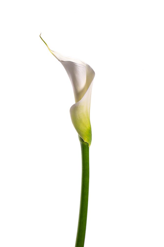 Calla Lily White White