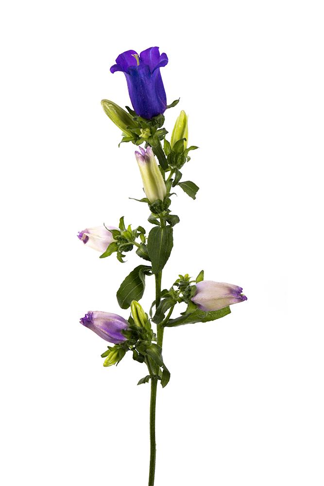 Campanula Purple Champion