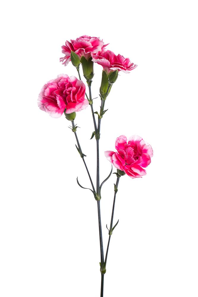 Carnation Mini Bicolor Hot Pink-White Cosmo Cherry