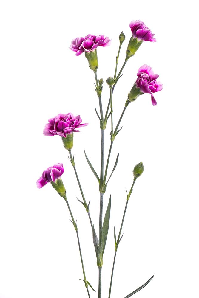 Carnation Mini Bicolor Purple-Lavender Tina