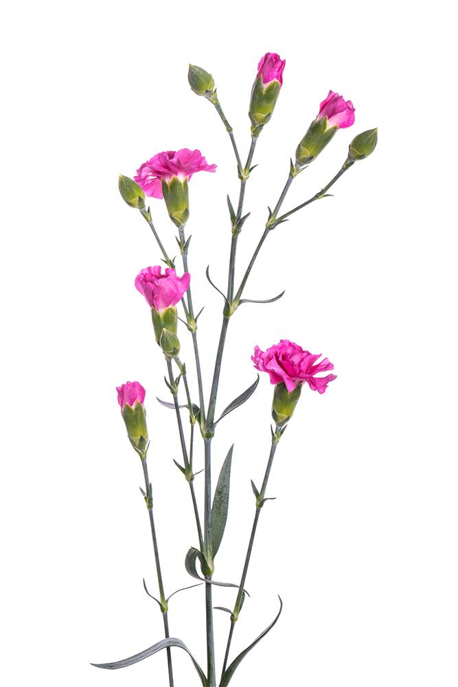 Carnation Mini Lavender Lilac Meliza