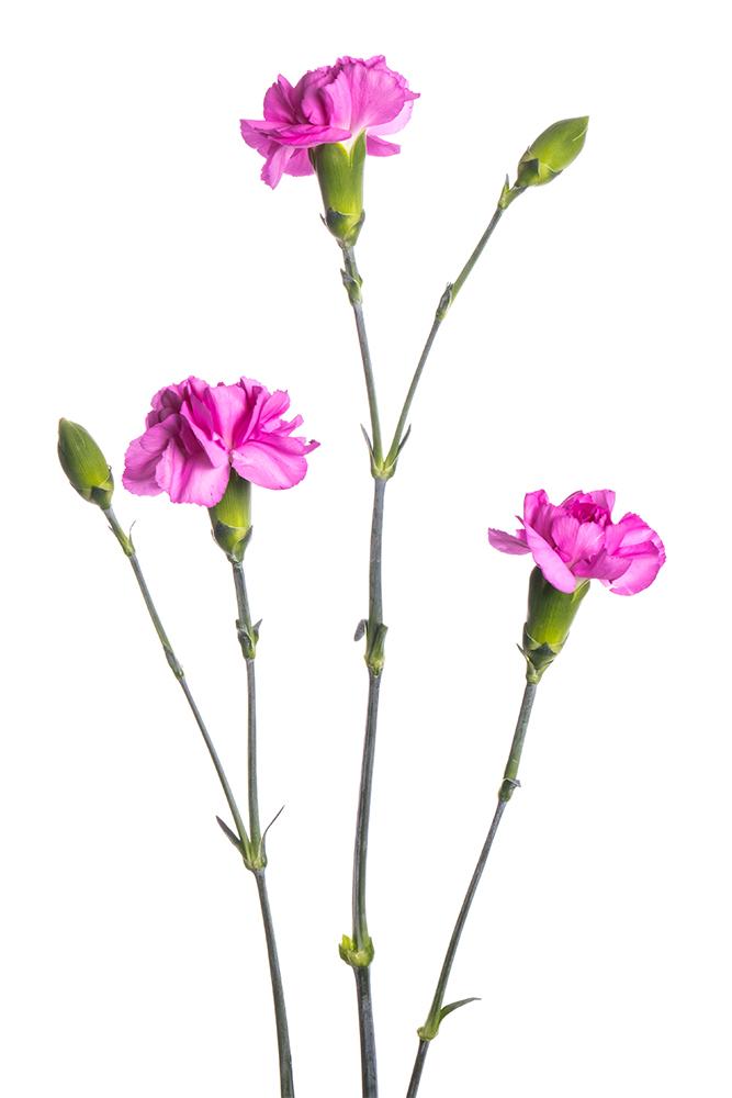 Carnation Mini Fuschia Malibu