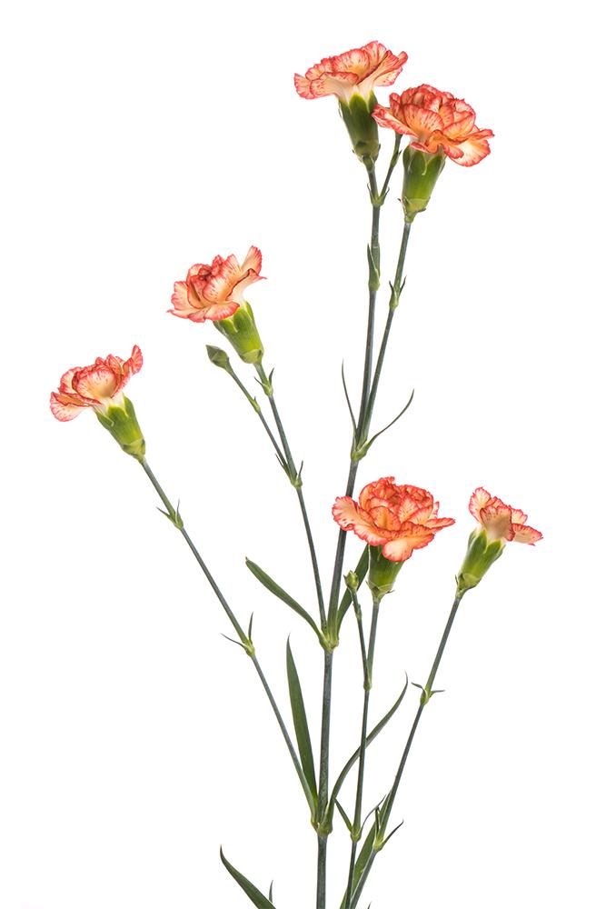 Carnation Mini Orange Spit Fire