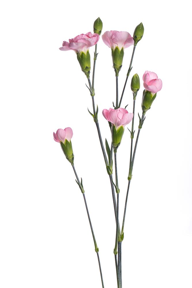 Carnation Mini Pink Athenea