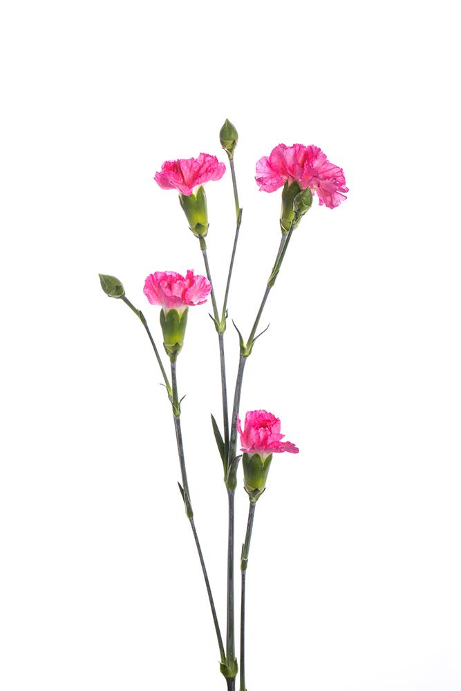 Carnation Mini Hot Pink Roxanne Picotee