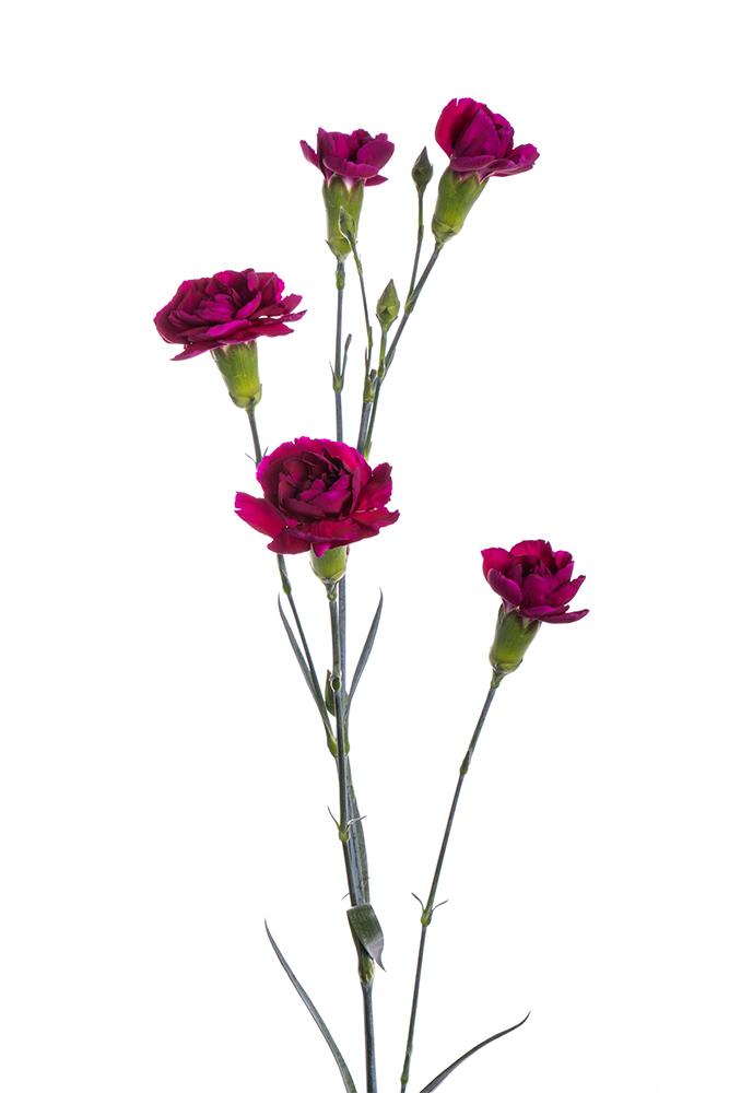 Carnation Mini Purple Cosmo