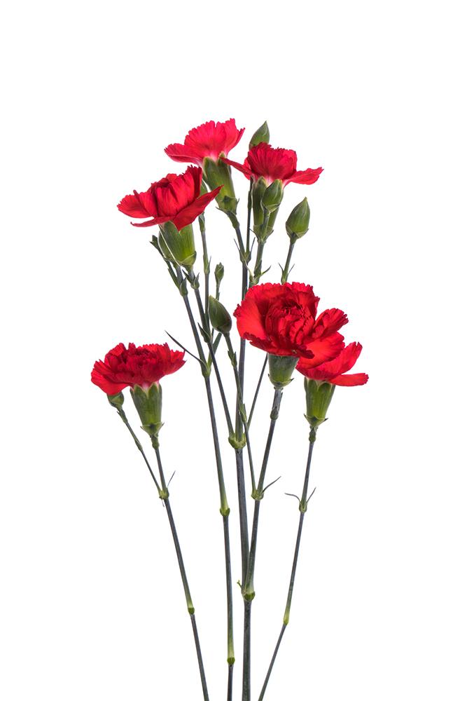 Carnation Mini Red Piaff